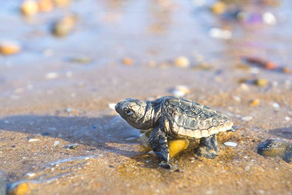 baby-turtles-spend-20-30-years-riding-the-ocean-currents-before-returning-to-their-birthplace-to-nest.-where-they-go-is-still-a-mystery.png