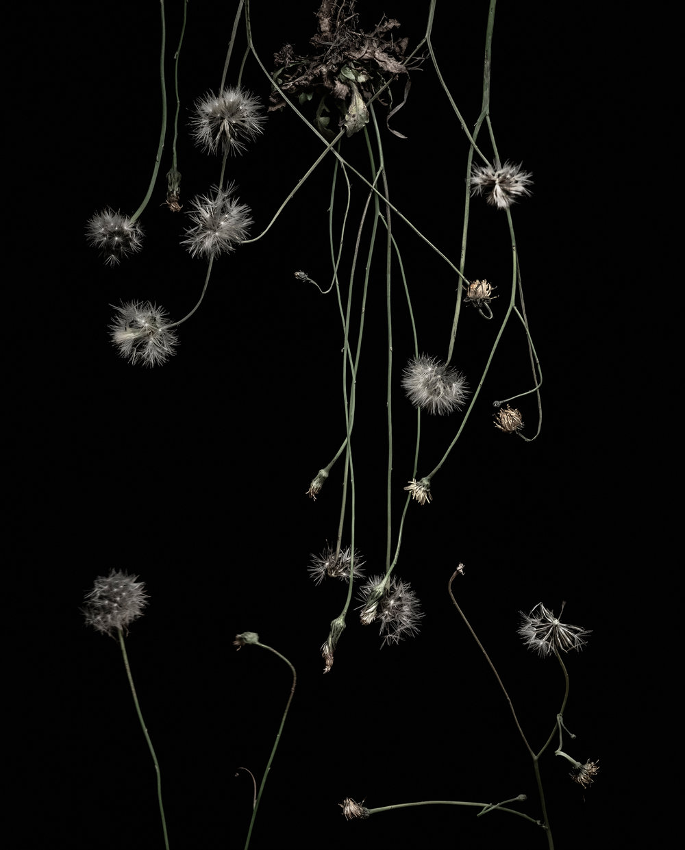 Project-D-clarehodgins-white-dandelions.jpg