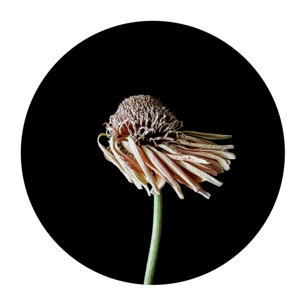 Em Warren_windswept gerbera 2018_digital photography.jpg