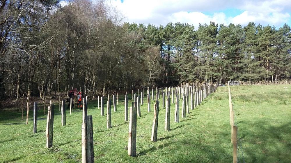 Woodland tree planting