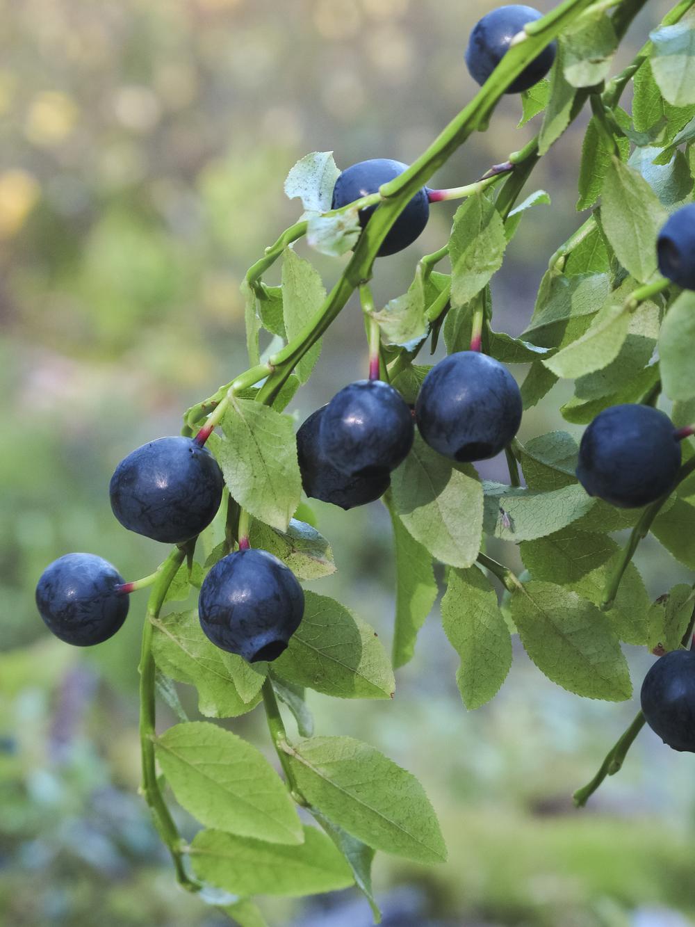NordicNordic bilberry info