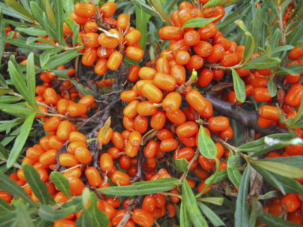 NordicNordic sea buckthorn info