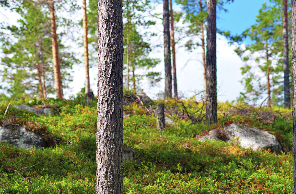 Wild, pure Finnish forest. Clean growing environment of our berries.