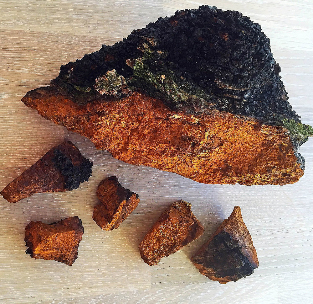 Chaga collected from Finland before the drying process.