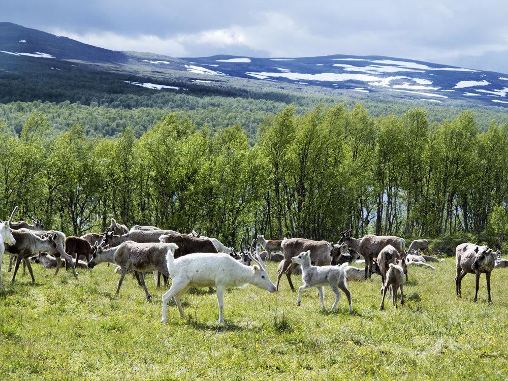 reindeer in arctic Lapland