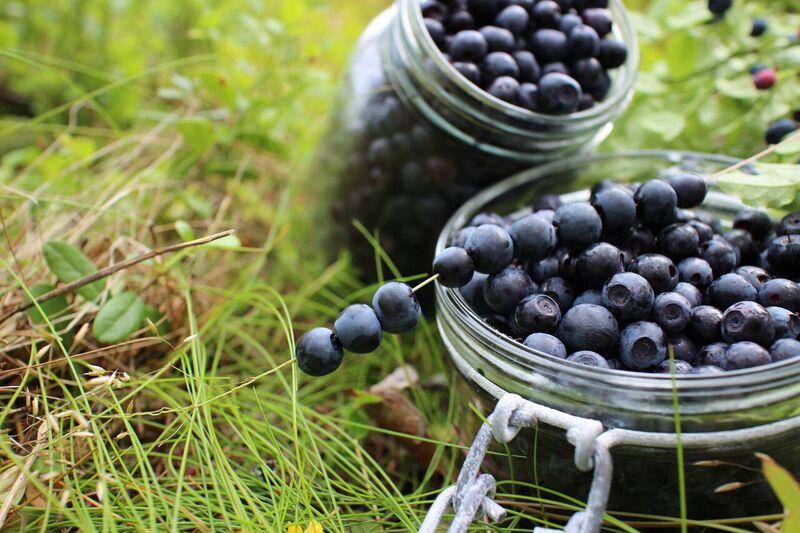 bilberry blueberry Finnish woods