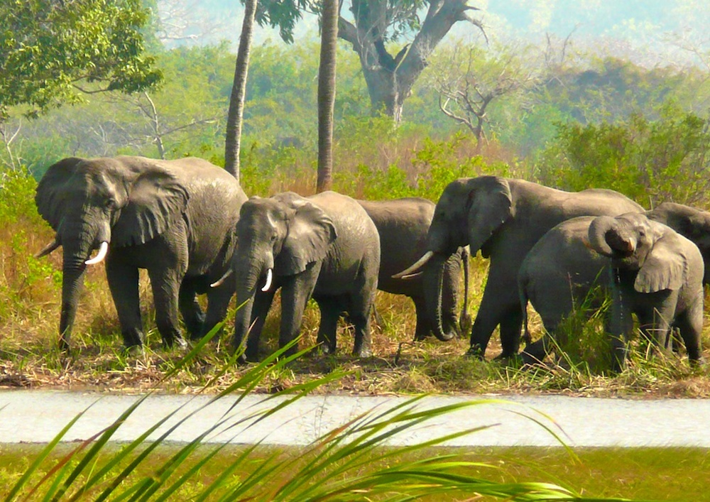 Elephants at Namomie near Guludo gate Quirimbas National Park.jpg