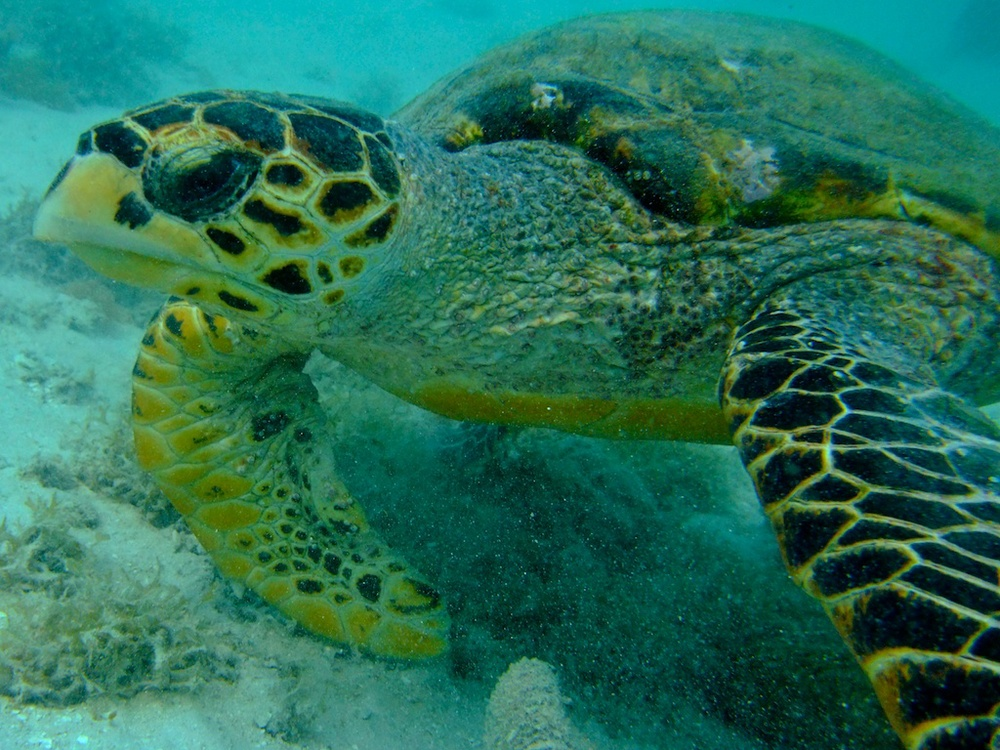 Hawksbill turtle Guludo diving.jpg