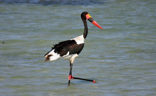 Saddle-billed stork.JPG