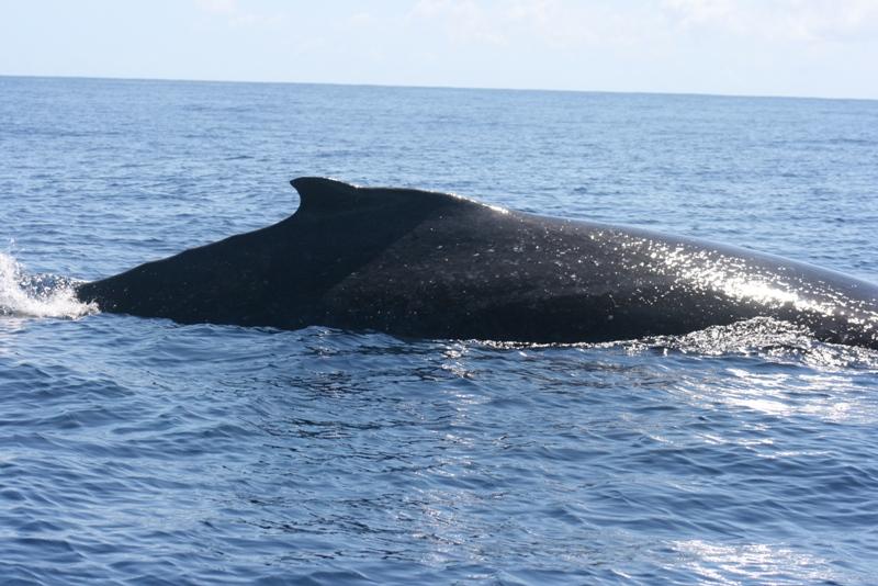 Humpback Whale 01.jpg