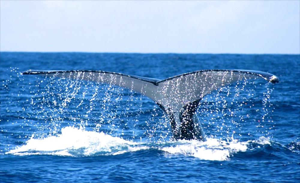 Humpback Whalej 05 (1).jpg