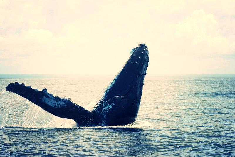 Humpback Whale 03.jpg