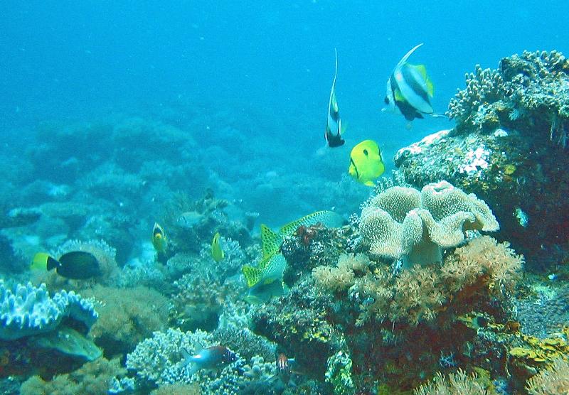 Scuba dive banner fish.jpg