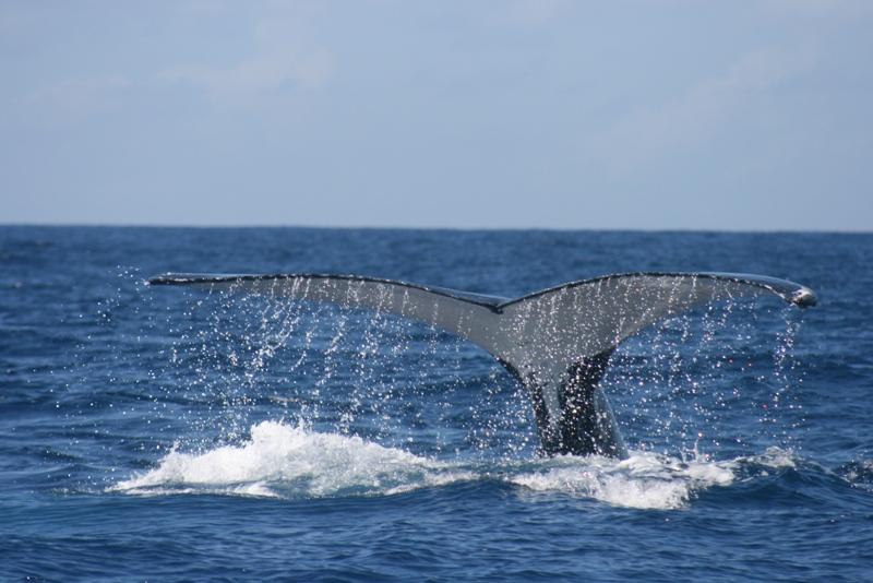 Humpback Whalej 05.jpg