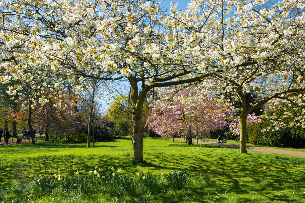 Cherry Blossom in Kensington Gardens Blog #2