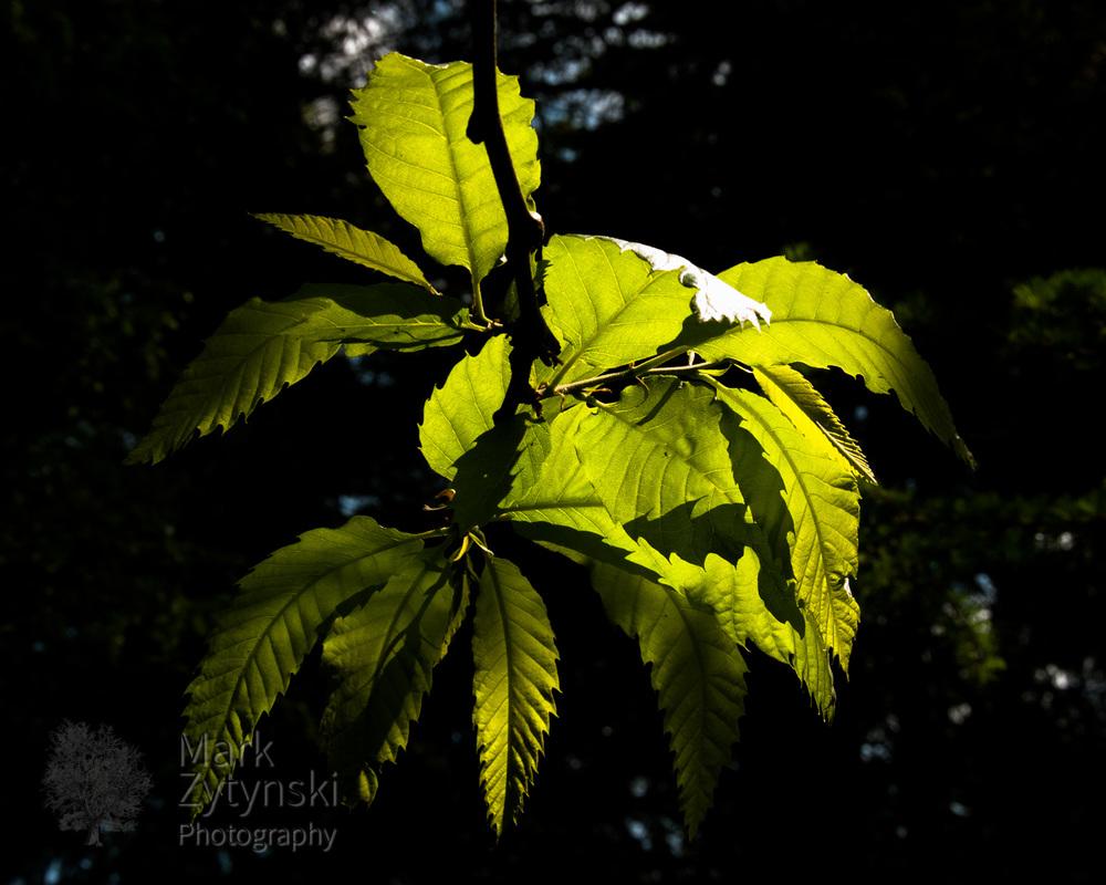 Sunlit Chestnut Leaves