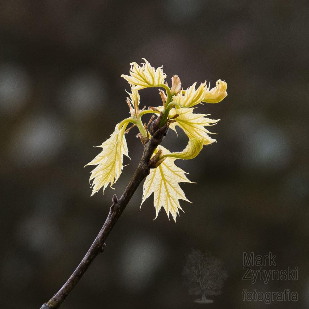 Zytynski-Curious-Quercus-4.jpg
