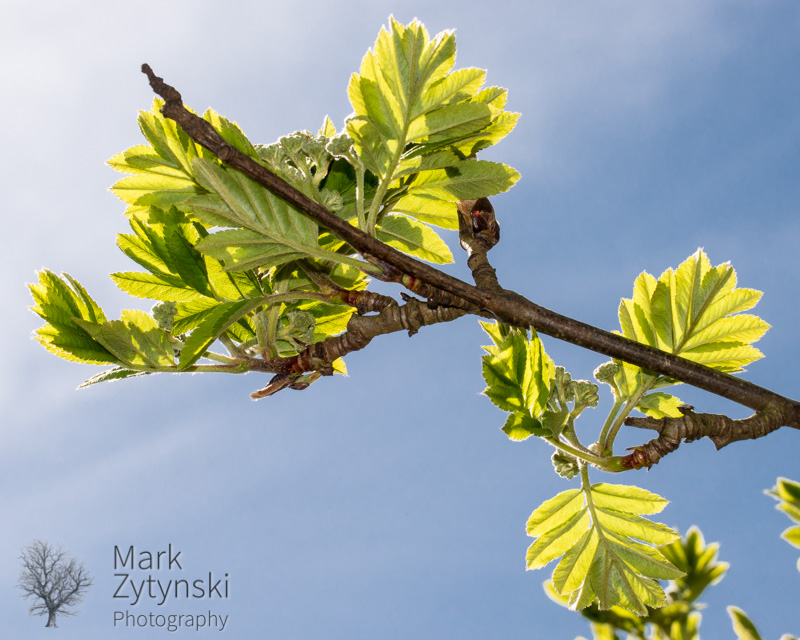 Zytynski-mountain-ash-0999.jpg