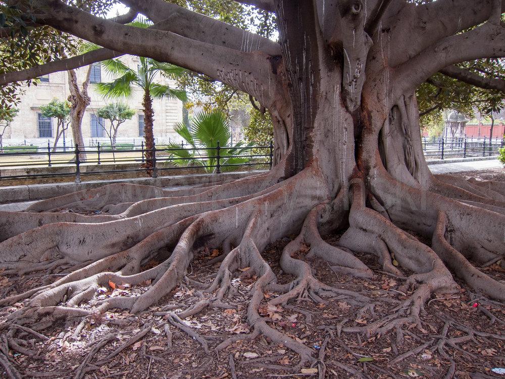 Zytynski-seville-banyan-tree-1404.jpg
