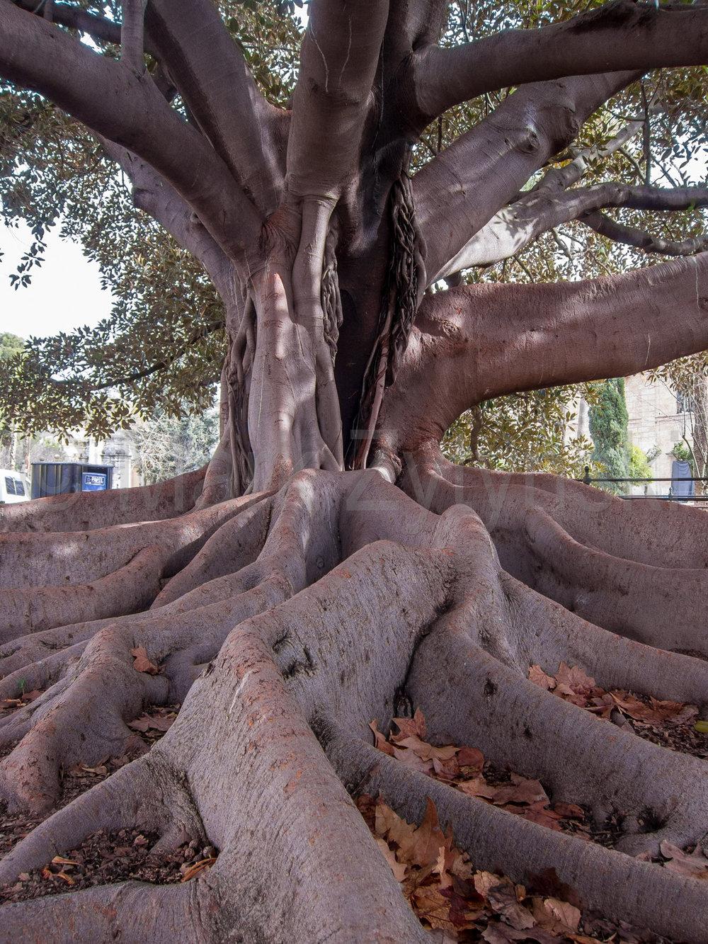 Zytynski-seville-banyan-tree-1406.jpg