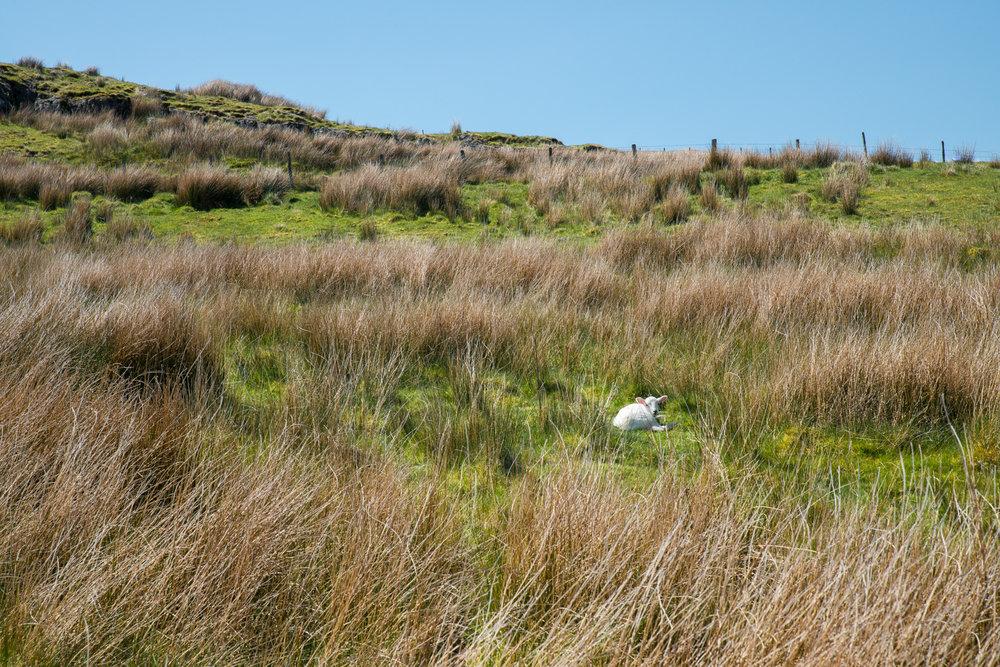 Lamb in wild grassland