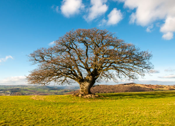 L - Stumpy Oak above Talgarth