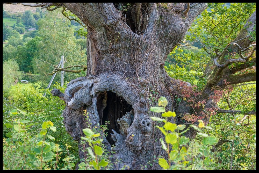 Pwllpriddog Oak