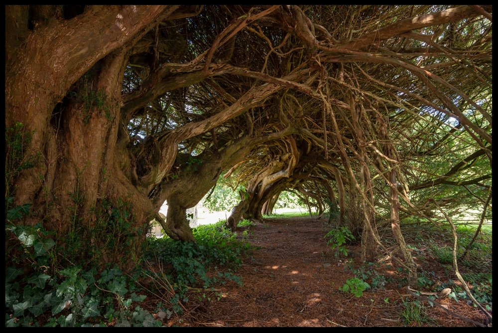 Aberglasney Yew Tunnel
