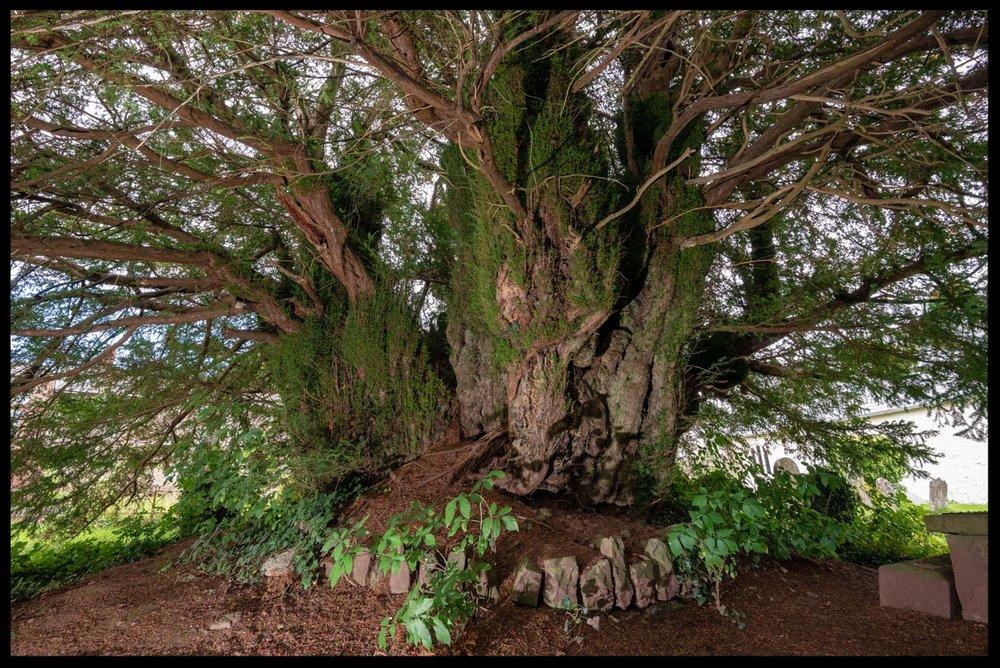 Defynnog Yew