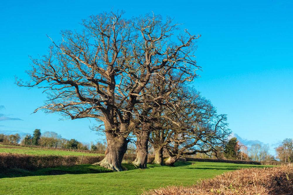 Zytynski-Winter-Oak-Trees-2.jpg