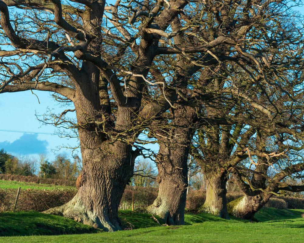 Zytynski-Winter-Oak-Trees-3.jpg