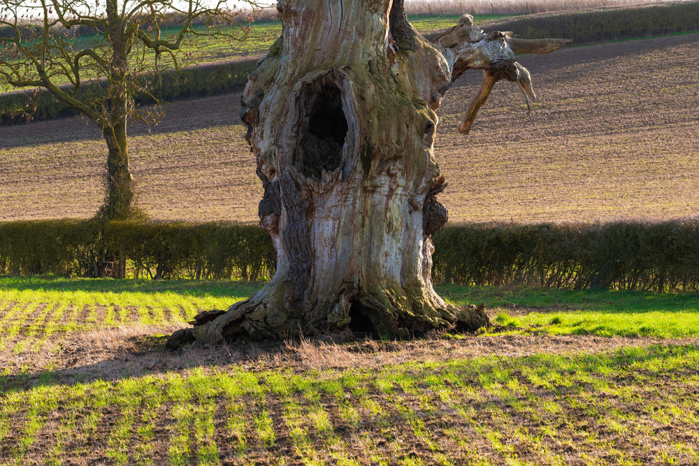Zytynski-Winter-Oak-Trees-5.jpg