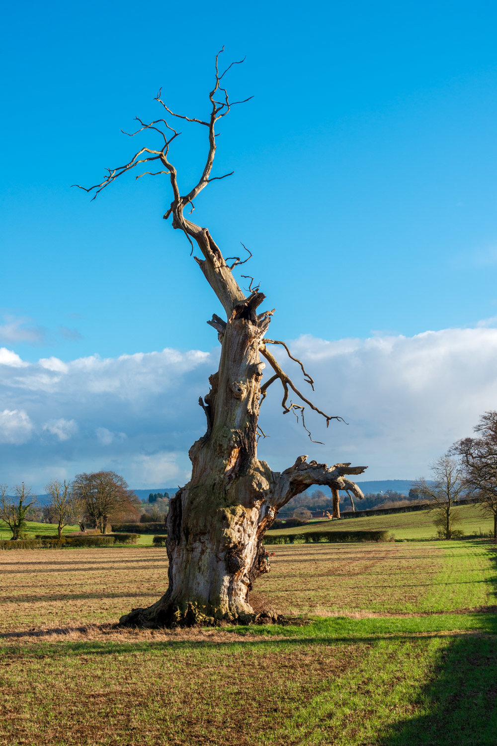 Zytynski-Winter-Oak-Trees-6.jpg