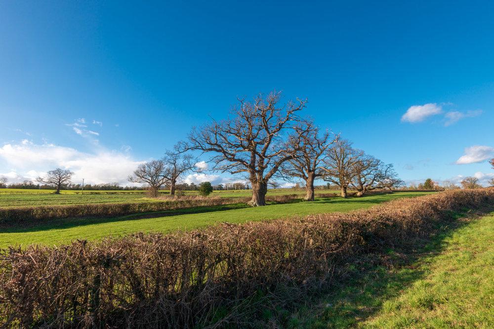 Zytynski-Winter-Oak-Trees-1.jpg