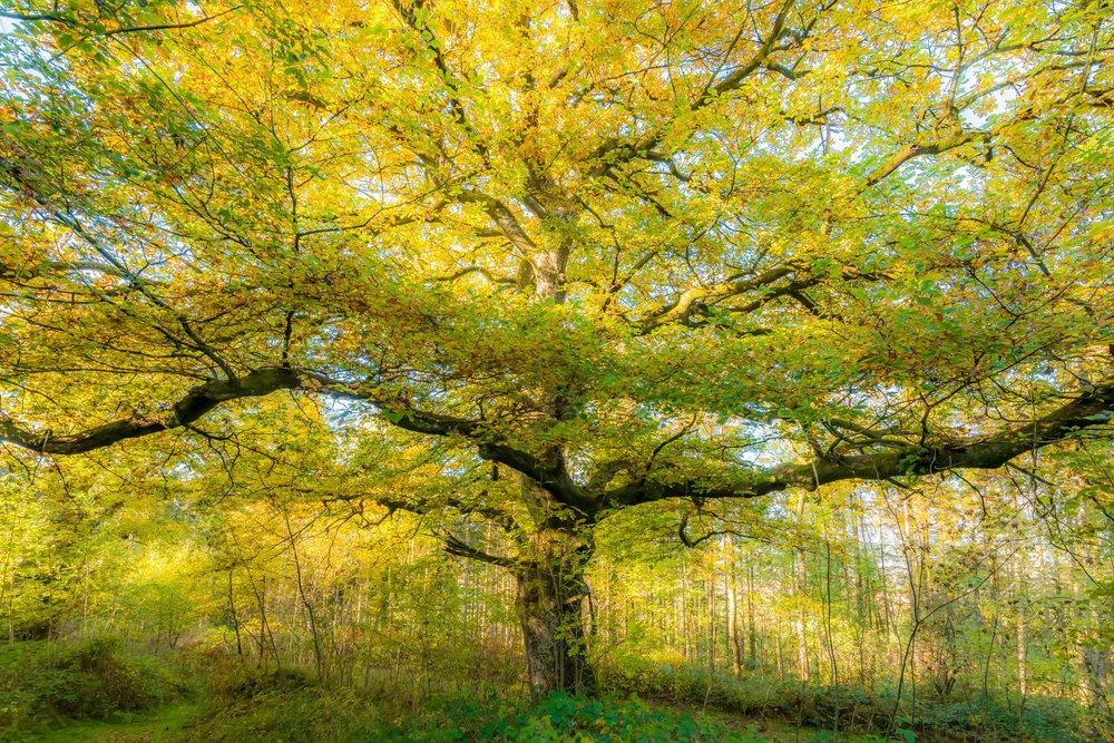 Autumn Oak in Park Wood
