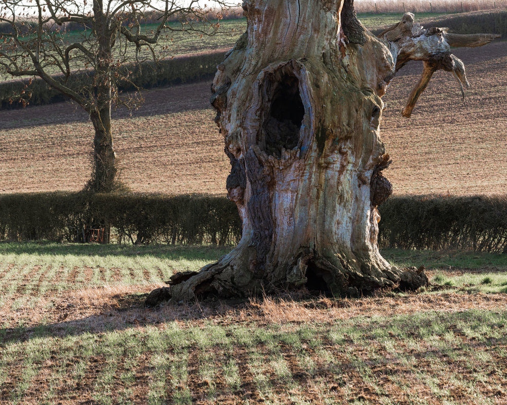 Dead Oak in a Field