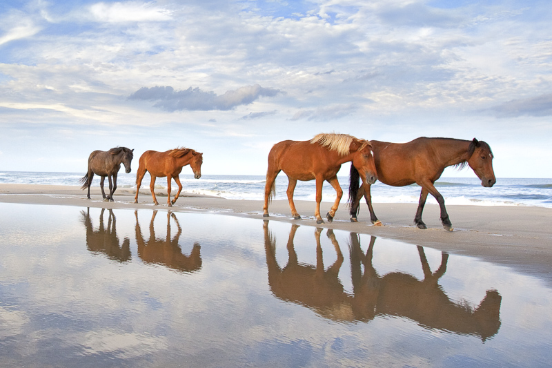 Wild Horses of the Outer Banks - June 11-13, 2018    |    June 19-21, 2018