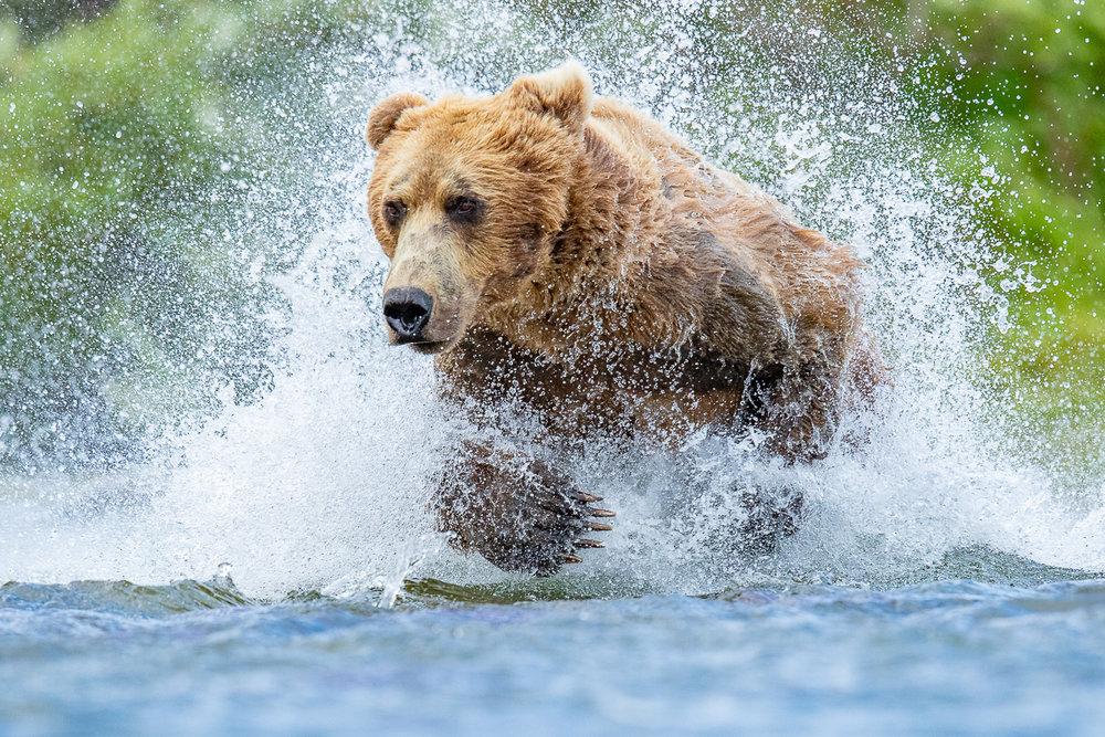Alaska Brown (Grizzly) Bear Photo Safari - JULY 1-7, 2019 JULY 7-12, 2019 AUG 9-14, 2020