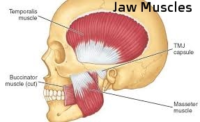 Jaw muscles.jpeg
