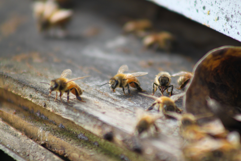 Meadery Bees