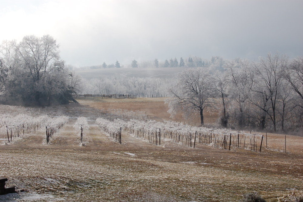 Vineyard covered in ice