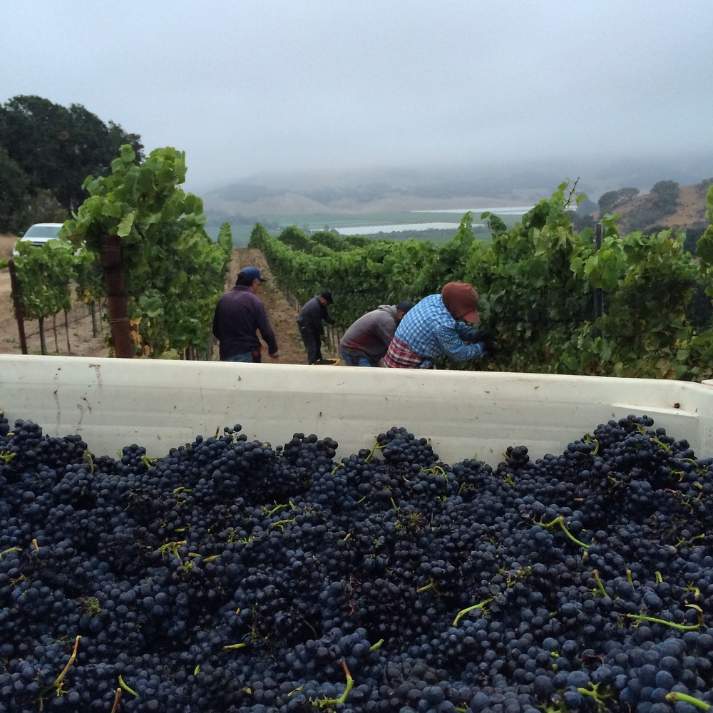 View from the Pinot noir bin, as the talented picking crew work their magic at Kick On Ranch