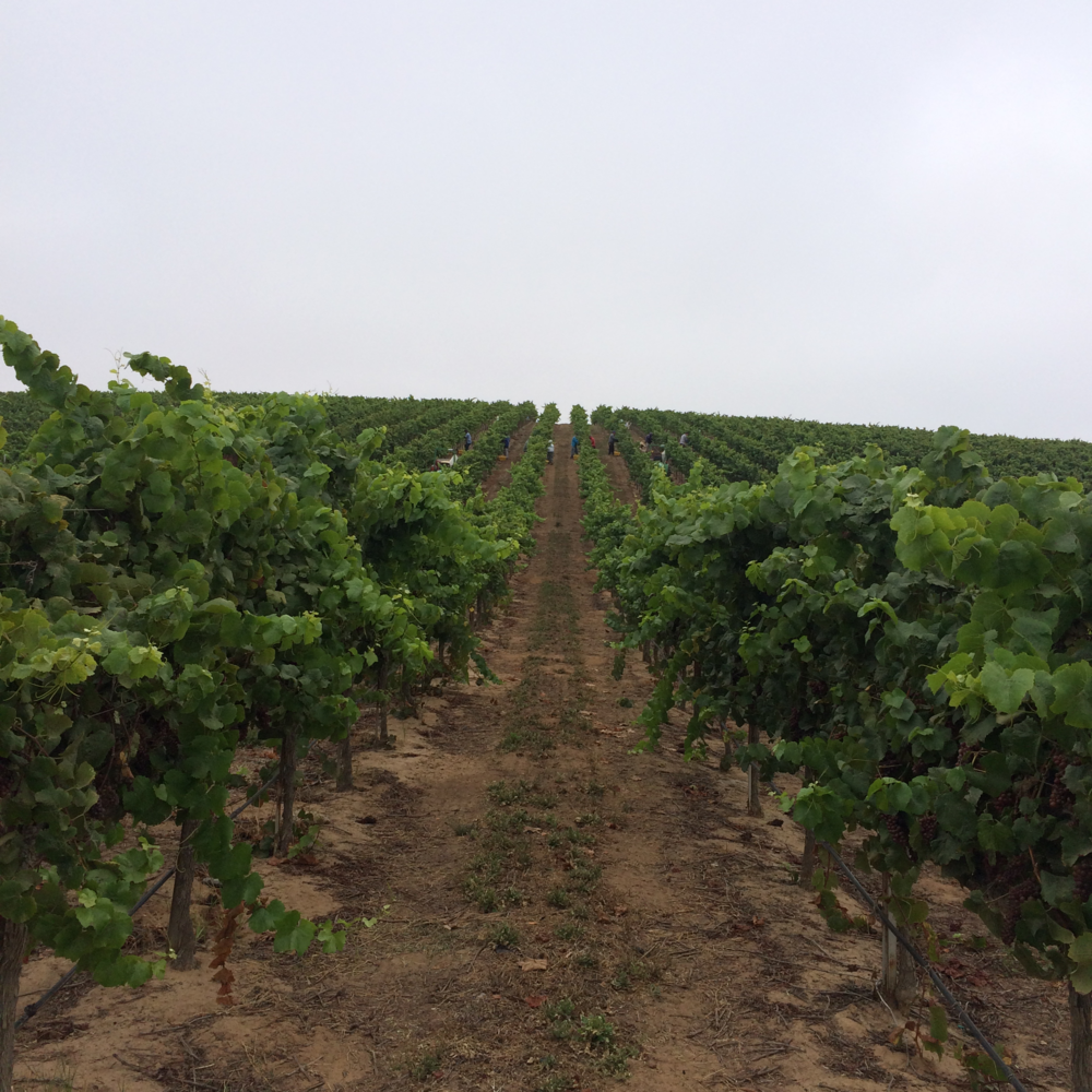 Pinot gris at Sierra Madre Vineyard, with the Santa Maria coastal fog shrouding the steep slope