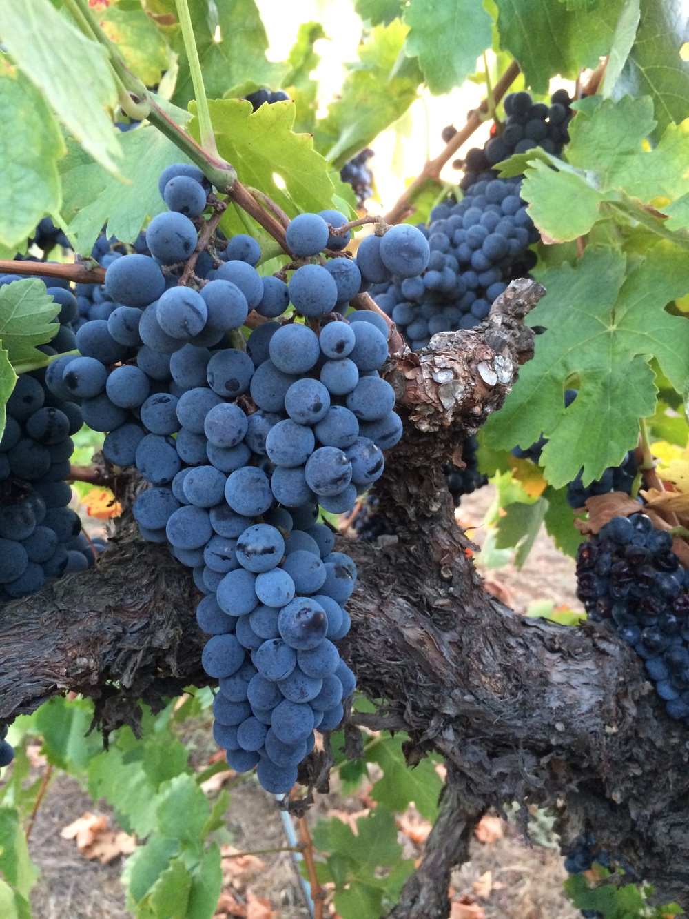 Luscious old-vine Carignan at McCormick Ranch, soon to become the 2015 Rougarou