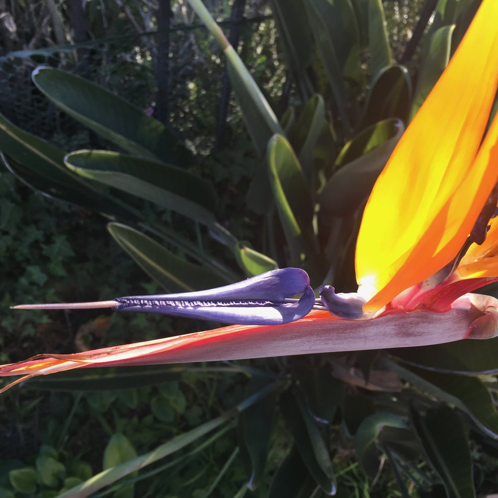 Backyard Bird of Paradise, beautifully feeding our hummingbird families