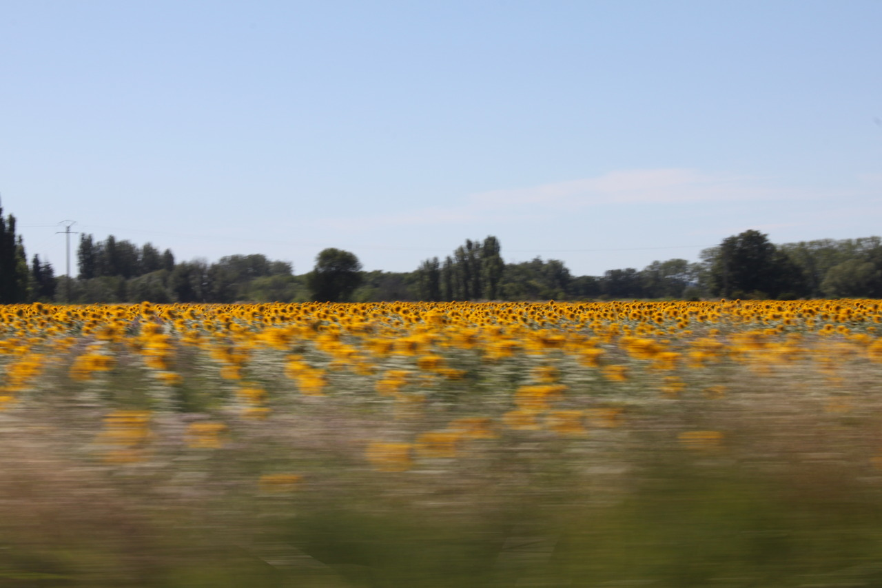 provencal sunflowers