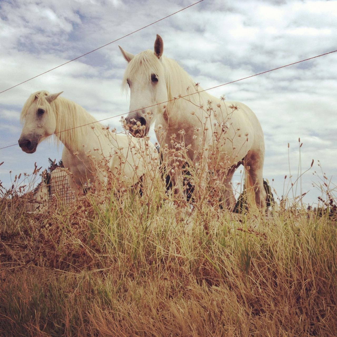 Provencal Horses / July 2012