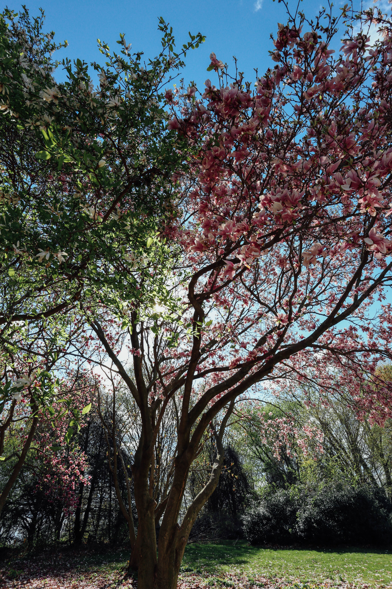 Magnolia tree | Japanese Tea Garden | Philadelphia | April 2015
