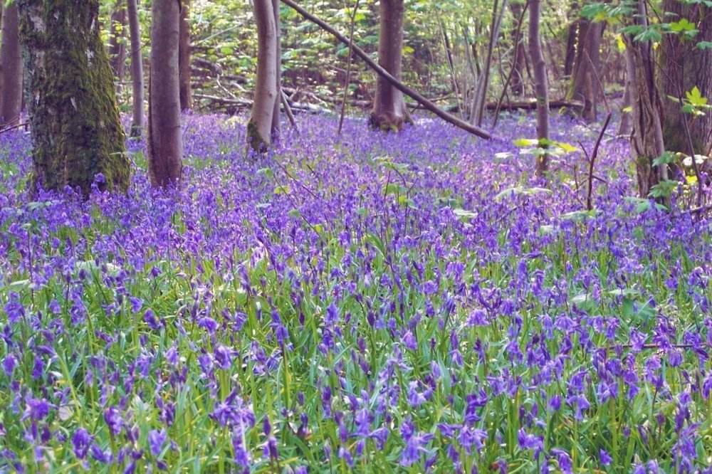 Bluebells edit.jpg