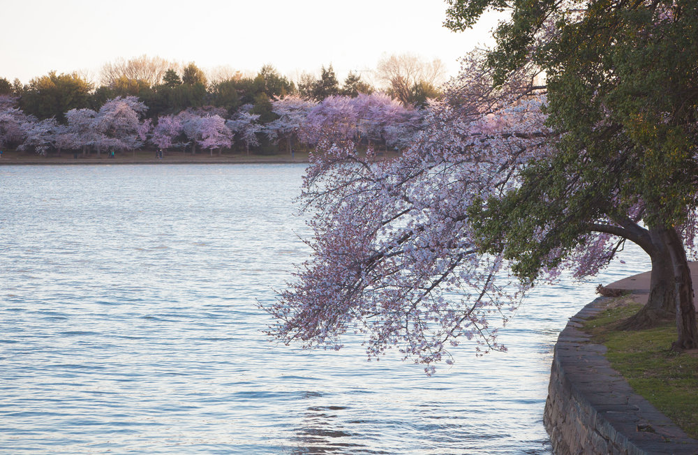 Cherry Blossoms 2018 - 025.jpg